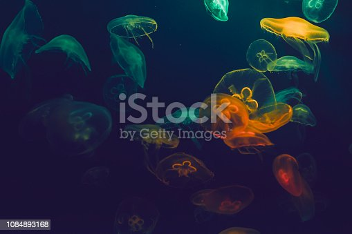 jellyfish, aquarium, no people, undersea, floating on water, blue background,