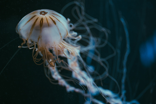 Jellyfish in deep