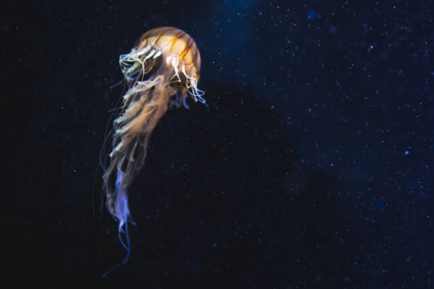 Jellyfish in deep space Jellyfish swimming in the sea, underwater. deep stock pictures, royalty-free photos & images