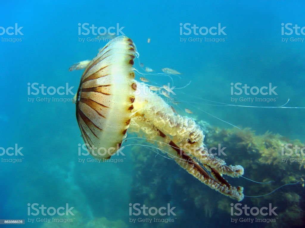 Jellyfish in mediterranean sea stock photo