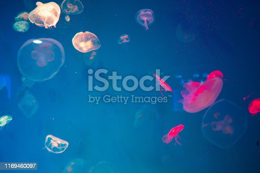 istock Jellyfish in the aquarium, Marine animals for research 1169460097