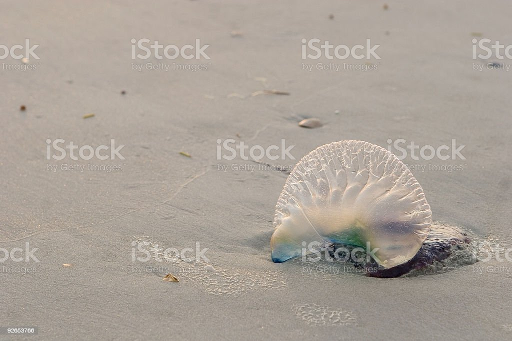 Jellyfish on beach stock photo