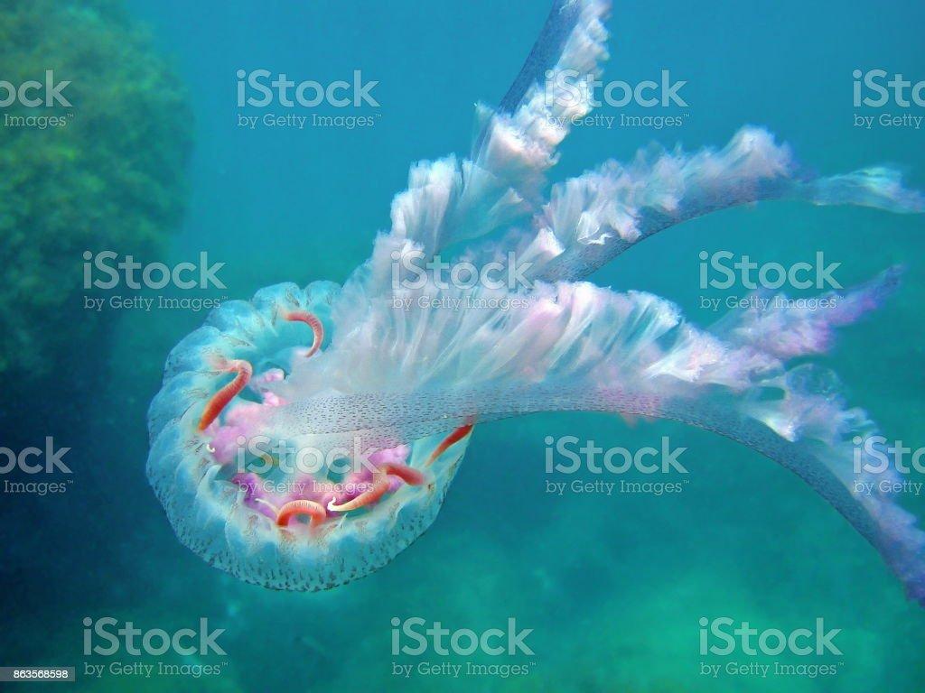 Jellyfish Pelagia noctiluca Mediterranean sea stock photo