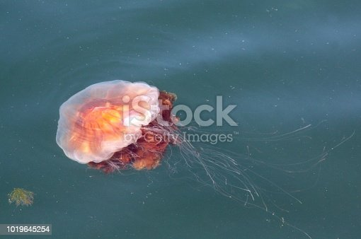 A jellyfish swimming on the surface of the water in Bergen Norway harbor