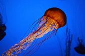 jelly fish in ocean, underwater sea life.