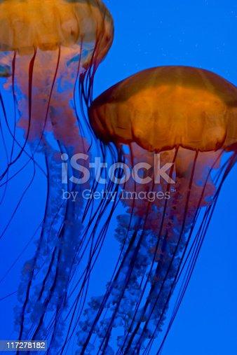 Jellyfish in blue aquarium