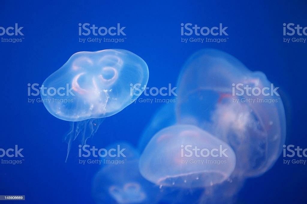 Jellyfish royalty-free stock photo