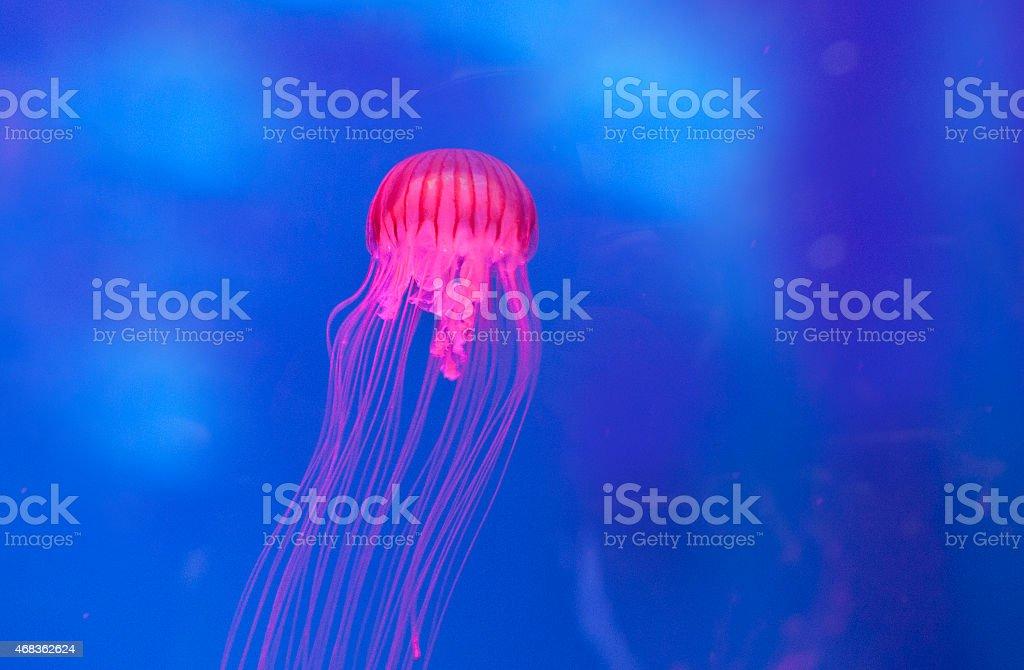 Jellyfish royalty-free stock photo