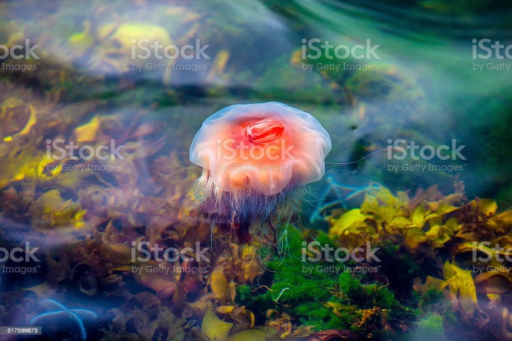 Jellyfish, Seydisfjordur Iceland17 stock photo