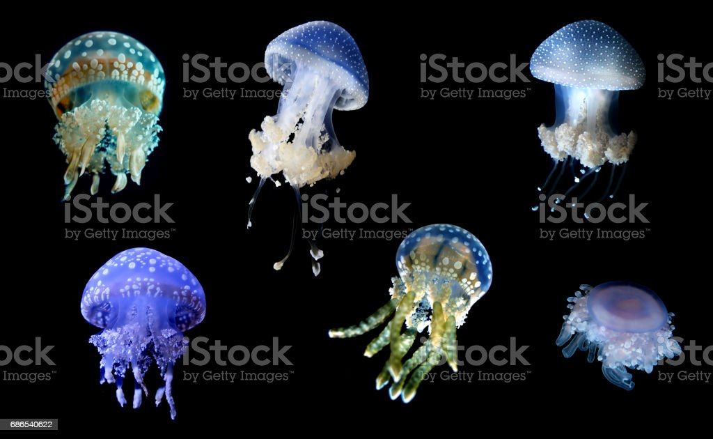 Jellyfish species over black background royalty-free stock photo