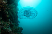The Sea Wasp - Immortal Jellyfish