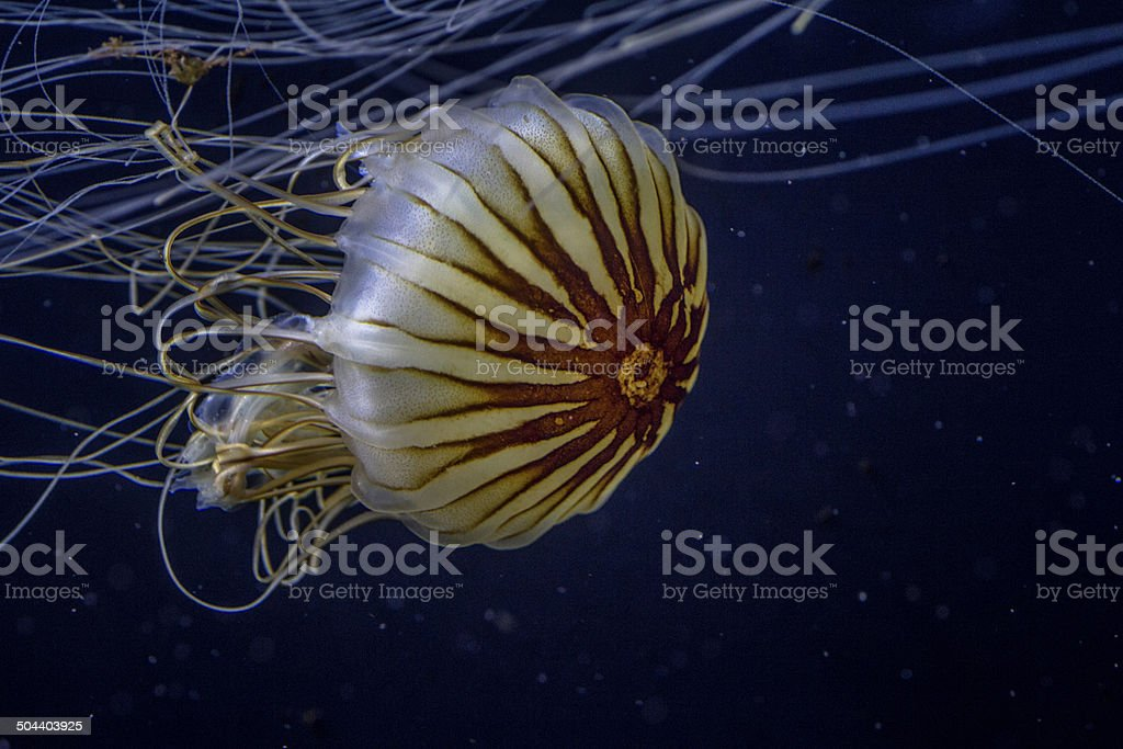 jellyfish swimming in blue wather, with long burning threads stock photo