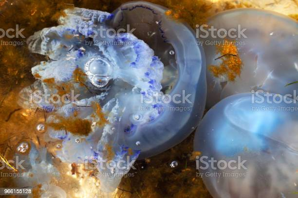 Maneter Och Alga I Solljus Havsvatten-foton och fler bilder på Akvatisk organism