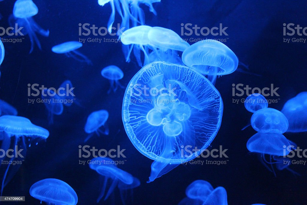 Jellyfishes stock photo