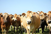 Dairy Cattle of Jersey Cows on the Farm in a Rural Scene.
