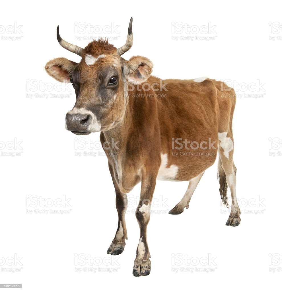 Jersey cow (10 years old) stock photo