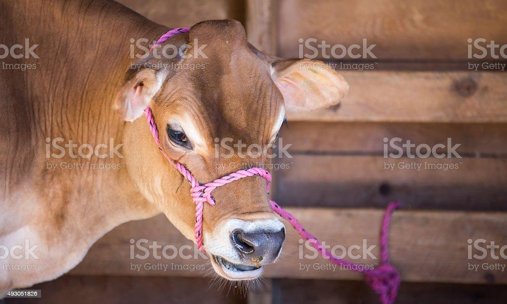 Jersey milk cow stock photo