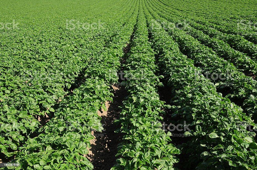 Jersey Royal potato crop. royalty-free stock photo