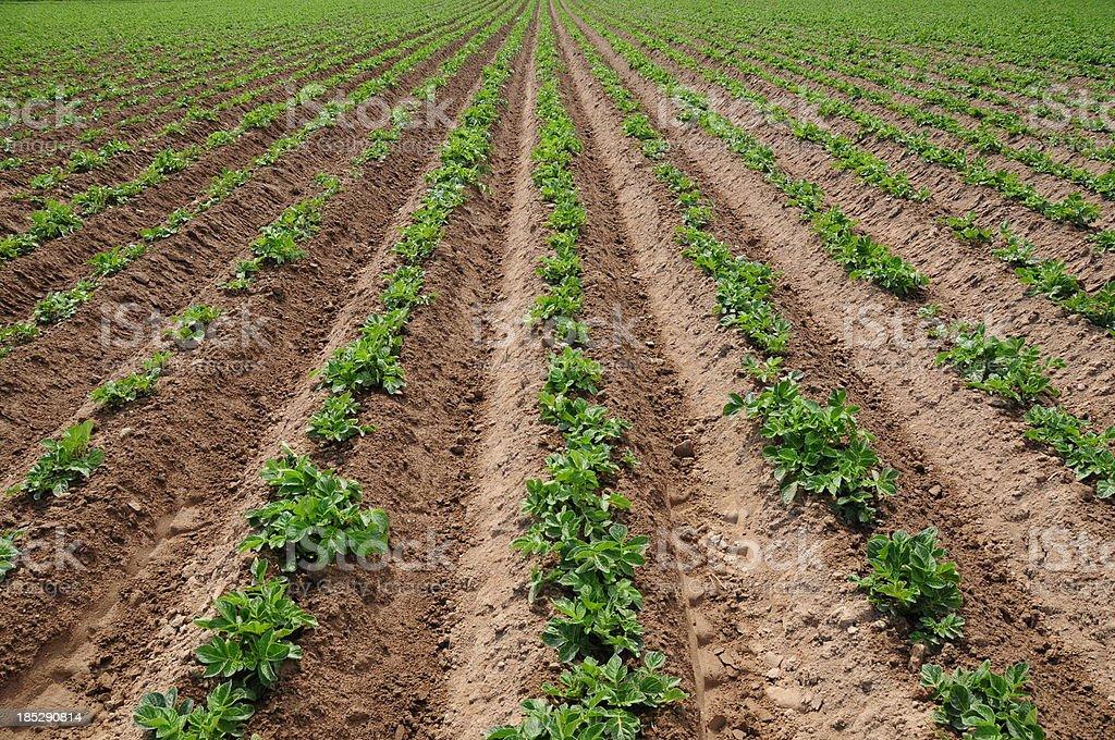 Jersey Royal potato crop. stock photo