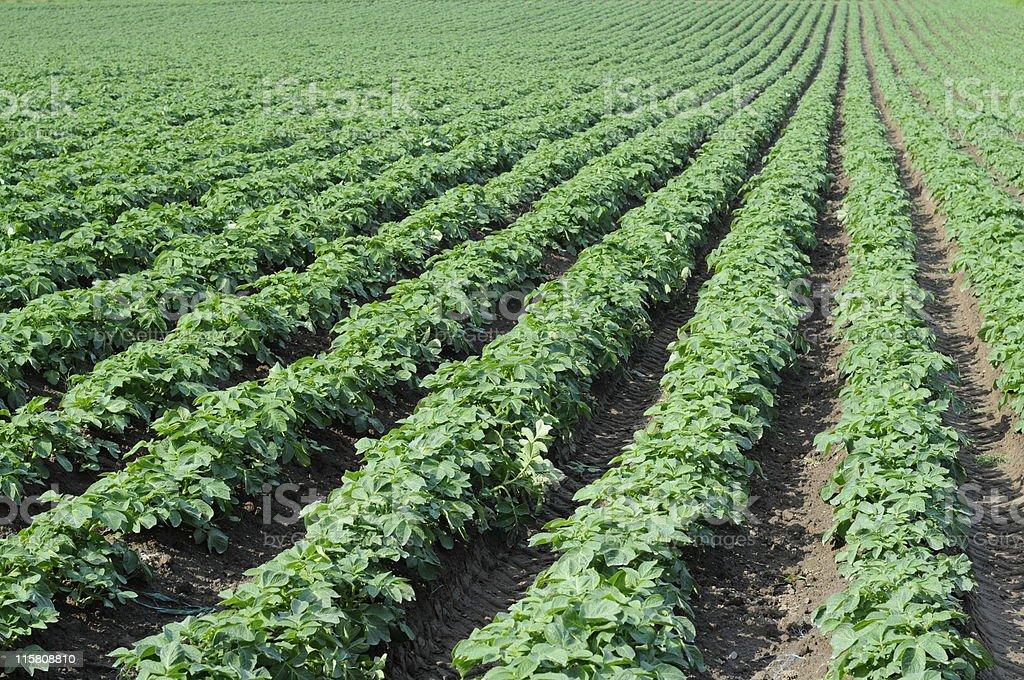 Jersey Royal potato field. stock photo