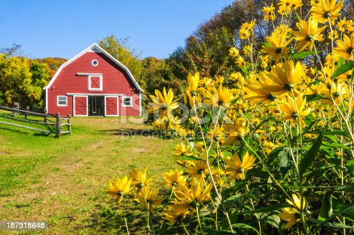A large clump of Jerusalem artichoke flowers grow in front of a red barn near Woodstock, Vermont.  (Critical focus on the foreground flowers. )