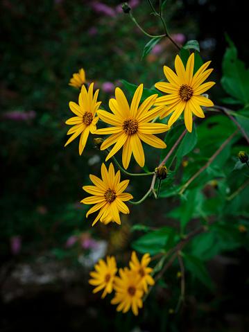 Jerusalem Artichoke or Girasol flowers in bloom in the garden