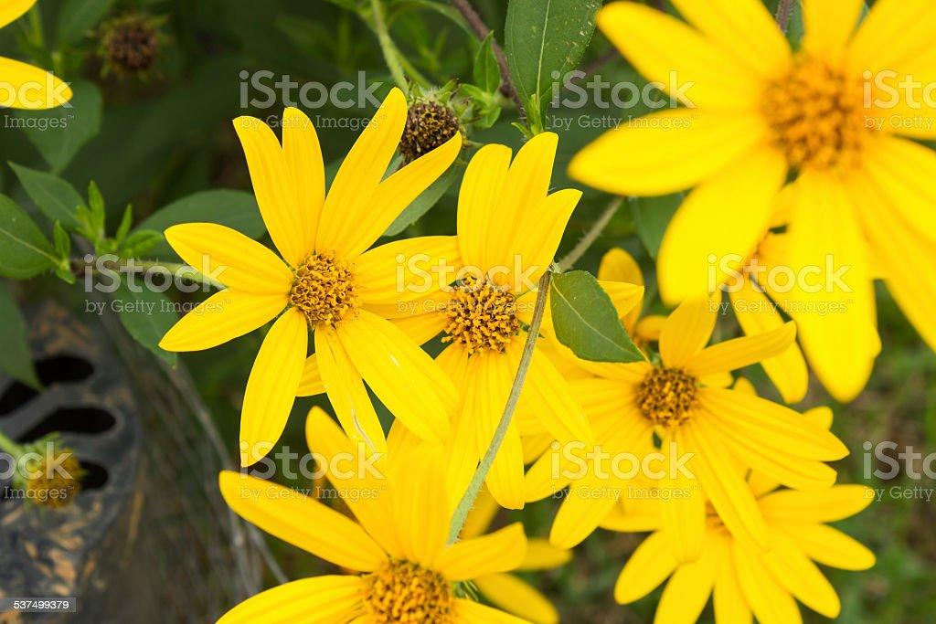 Jerusalem artichoke. Yellow topinambur flowers stock photo