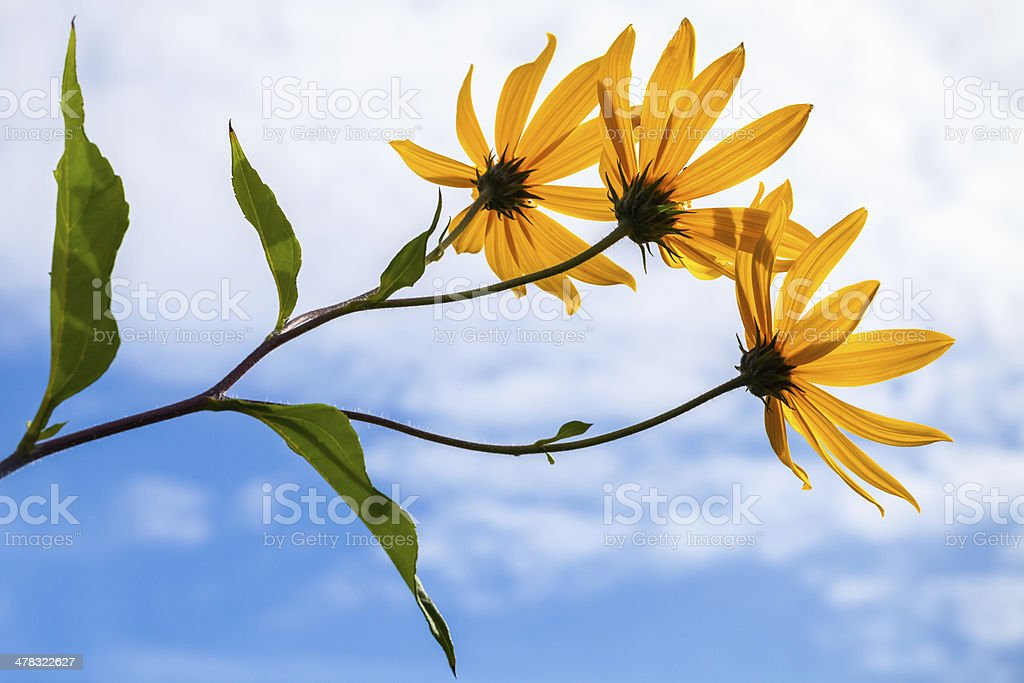 Jerusalem artichokes flowers above cloudy sky royalty-free stock photo
