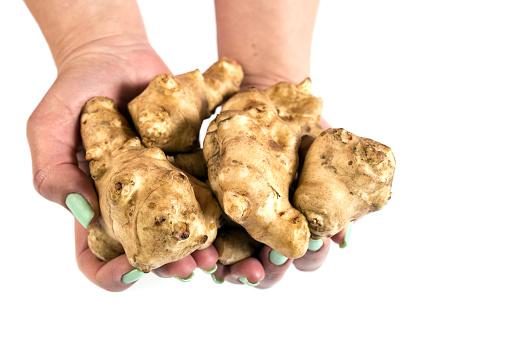 Jerusalem artichokes in female hands. Edible vegetble roots in hands
