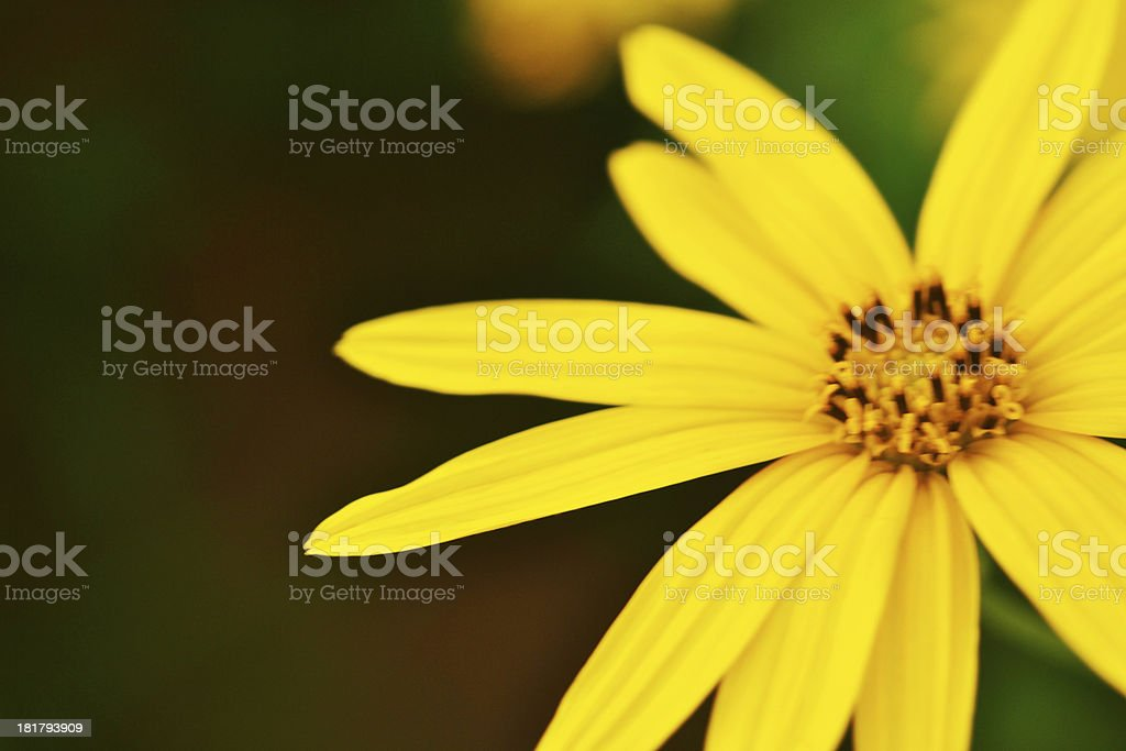 jerusalem artichokes sunflower royalty-free stock photo