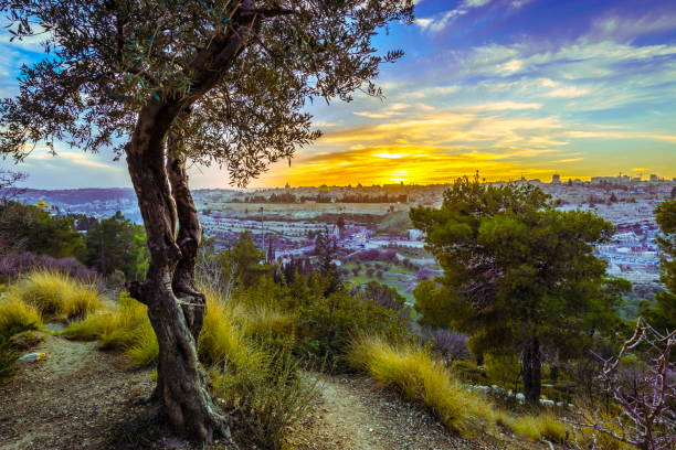 Jerusalem at sunset Olive tree with view of Jerusalem at sunset, veiw from Mount of Olives jerusalem old city stock pictures, royalty-free photos & images