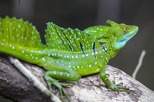 Jesus Christ Lizard Nicaragua Rio San Juan stock photo