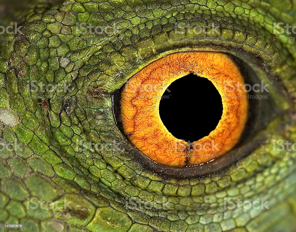 jesus christ lizards eye stock photo