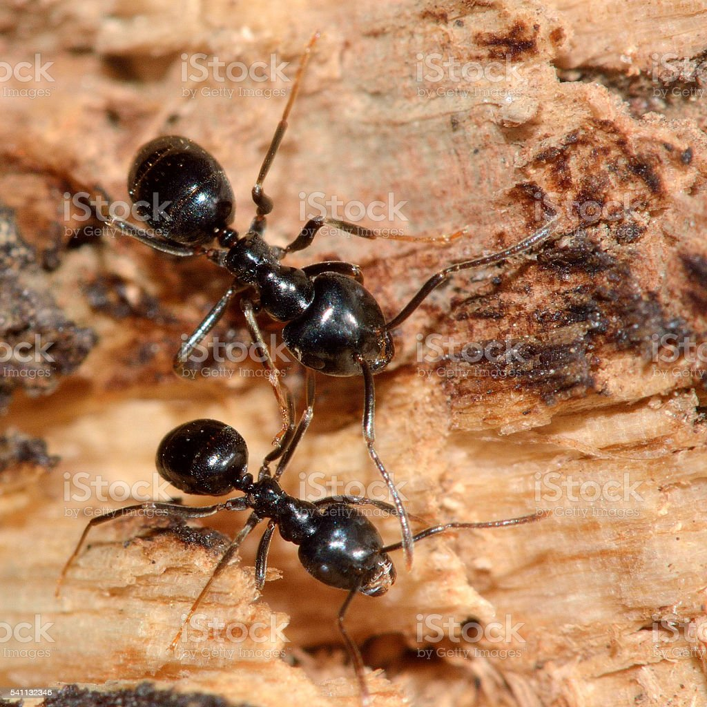 Jet black ants (Lasius fuliginosus) stock photo