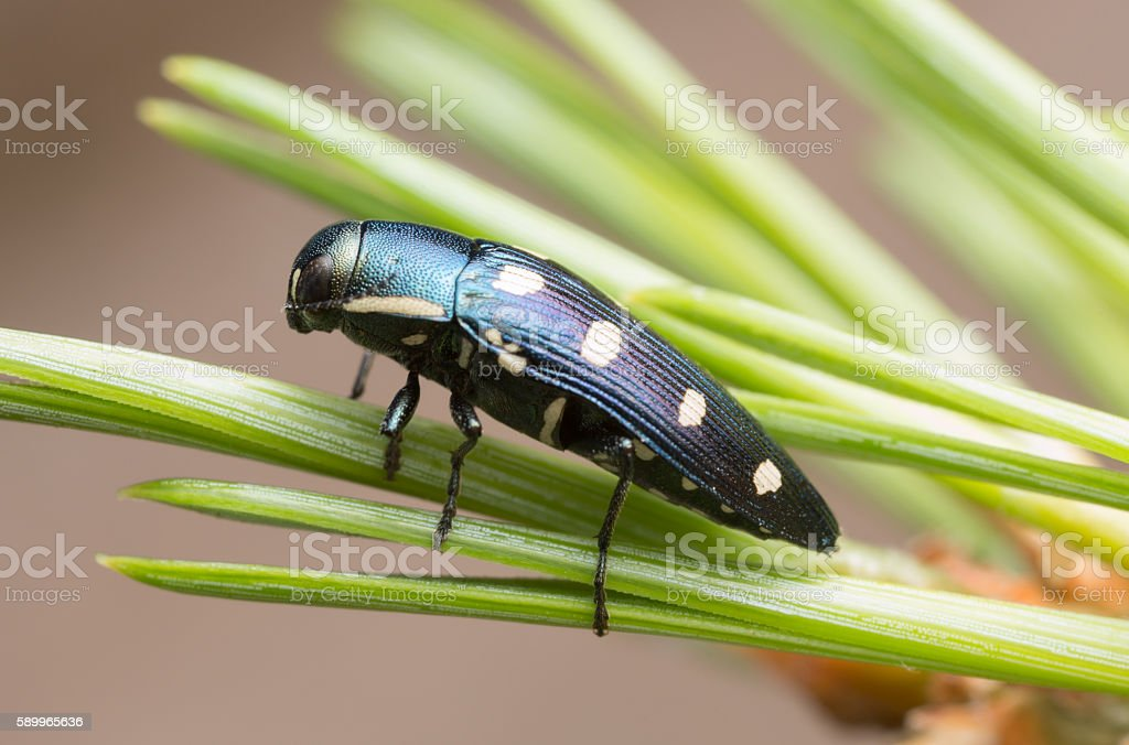 Jewel beetle, Buprestis octoguttata on pine needle stock photo