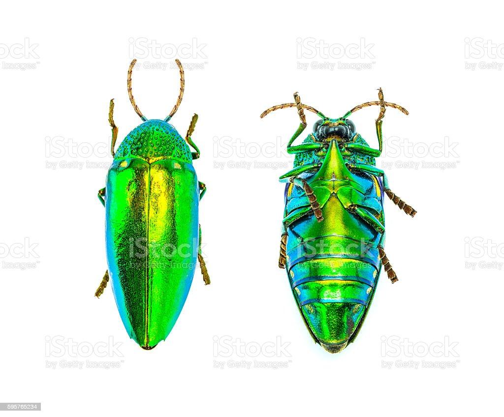 jewel beetle isolated on white background stock photo
