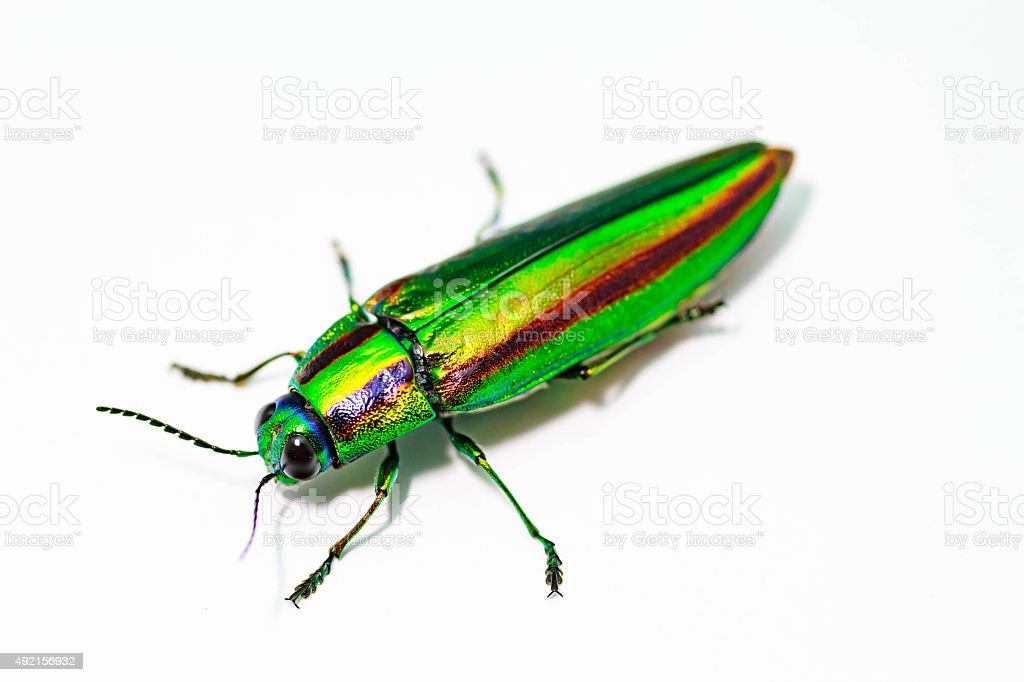Jewel beetle, Metallic wood-boring beetle, Buprestid. stock photo