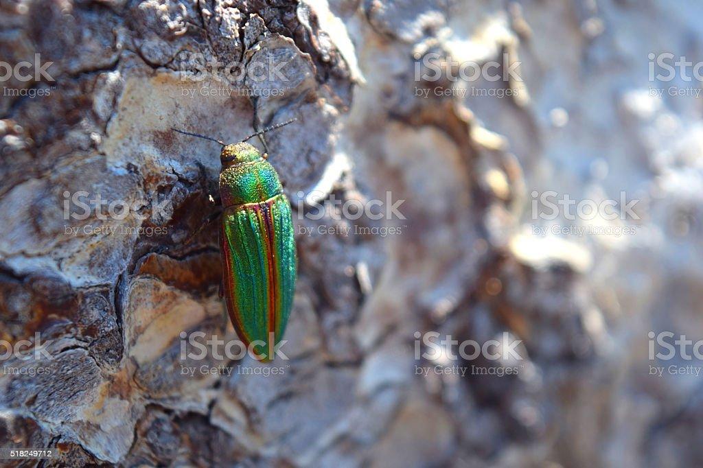 Jewel Beetle On Log stock photo