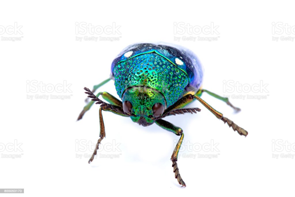 Jewel beetle or Metallic wood-boring beetle in Southeast Asia. stock photo