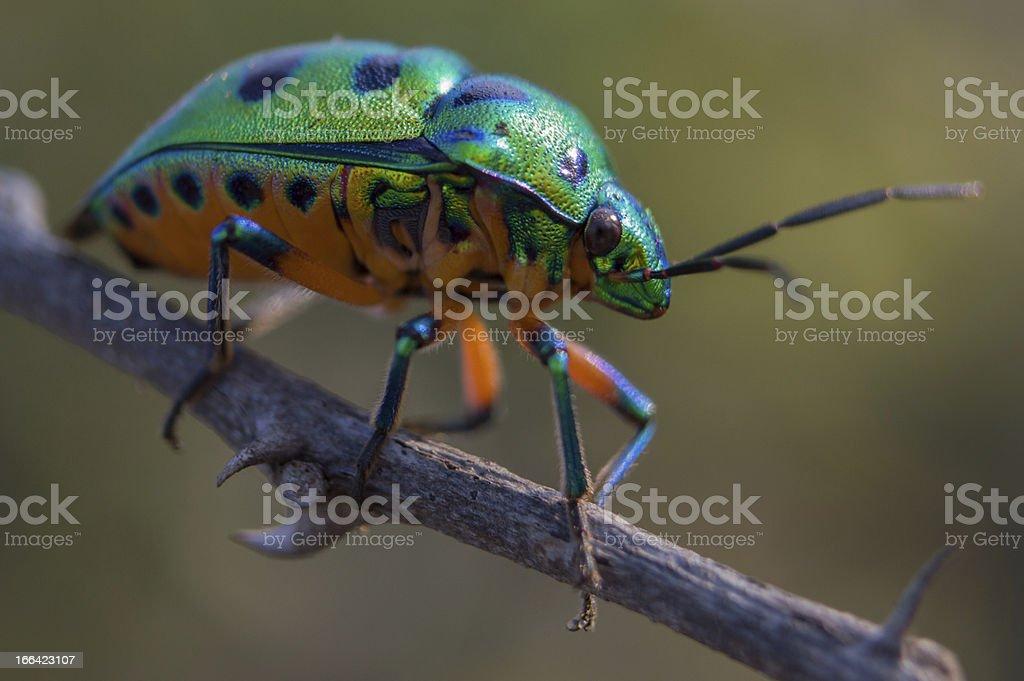Jewel Beetle stock photo