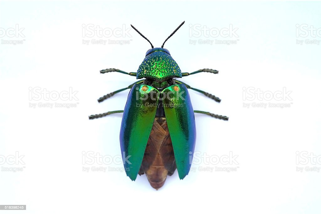 Jewel beetle ready to fly isolated on white background stock photo