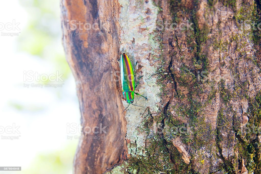 Jewel Beetle shines in rainbow colors found in the summer stock photo