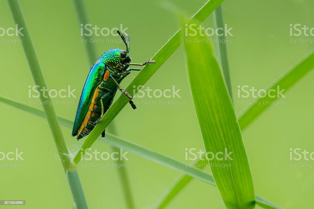 Jewel beetle1 stock photo