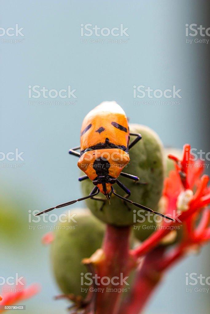 Jewel Bugs (Family Scutelleridae) stock photo
