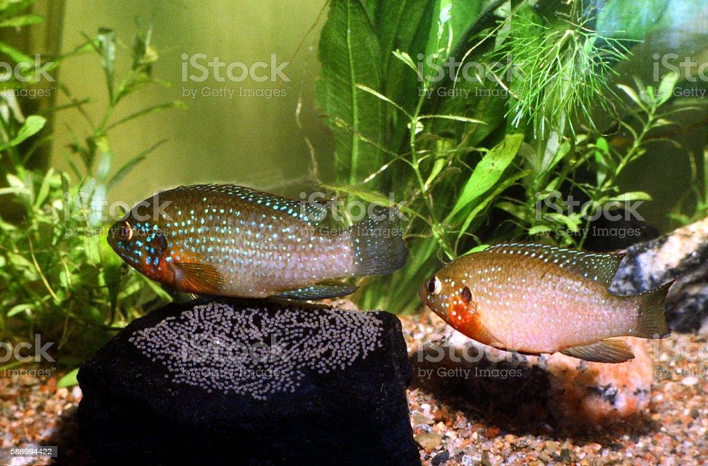 Jewel Cichlid, Hemichromis bimaculatus. Breeding pair protecting eggs. stock photo