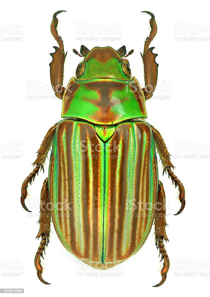 Jewel scarab beetle Chrysina adelaida from Mexico stock photo