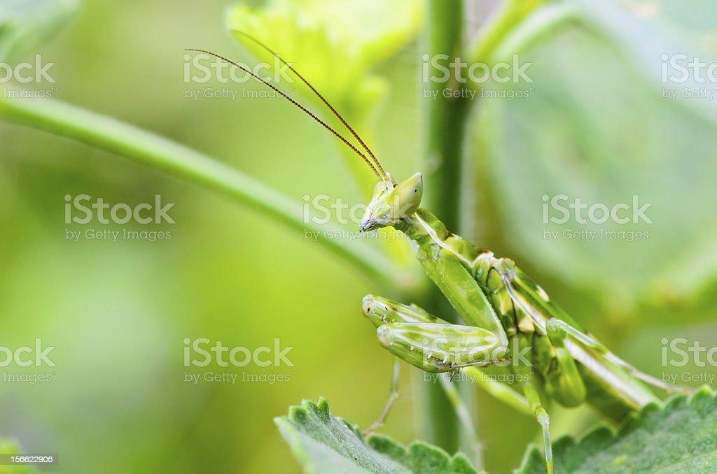 Jeweled flower mantis royalty-free stock photo