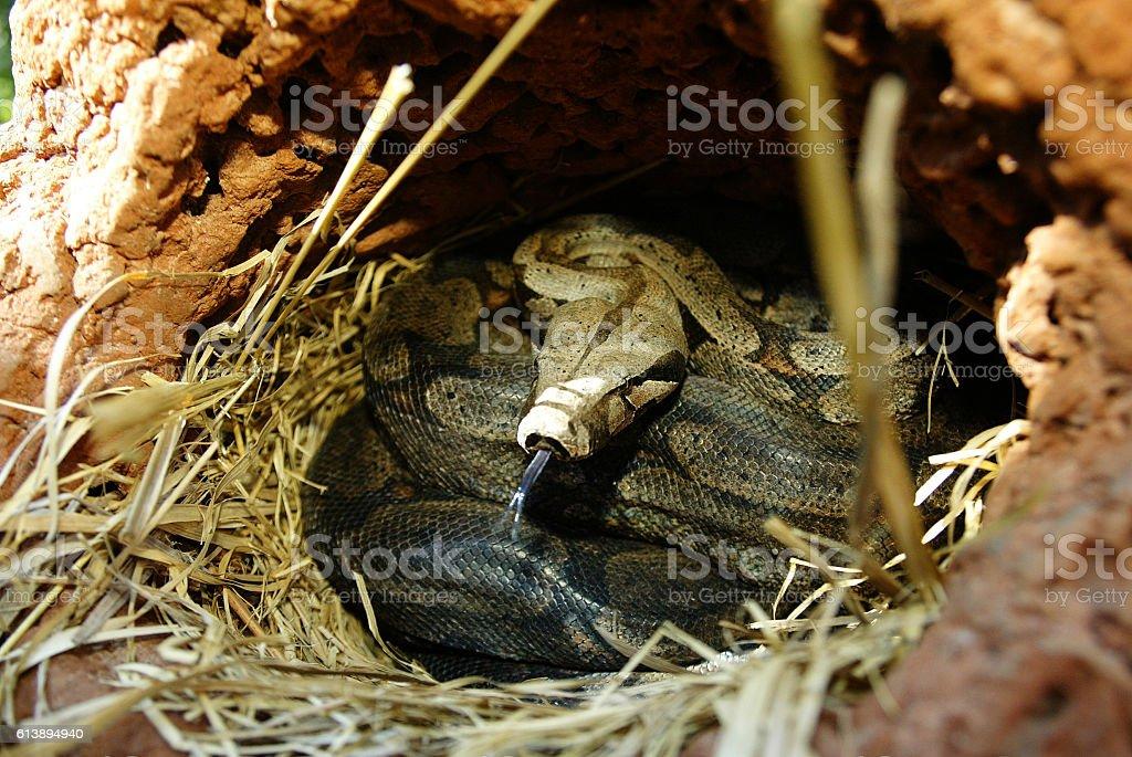 Jibóia snake coiled in her nest, Pantanal – zdjęcie