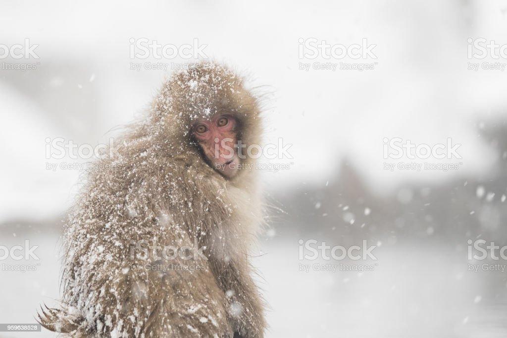 Jigokudani Monkey - Foto de stock de Agua libre de derechos