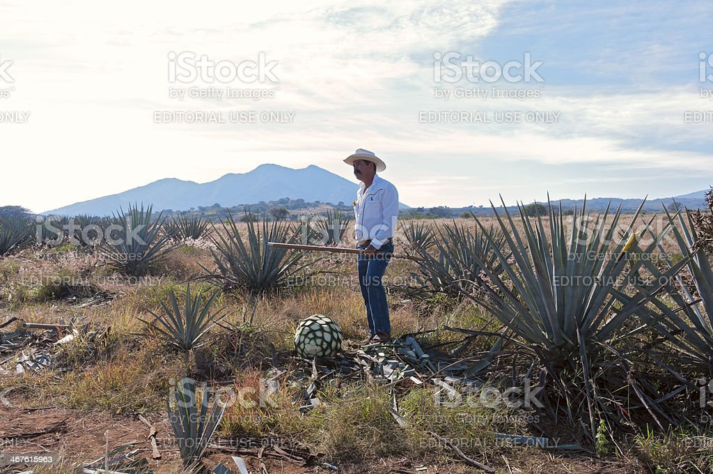 Jimador in Blue Agave Field stock photo